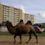 kamel tropi