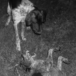 nocne walki psów