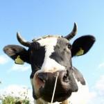eu krowa
