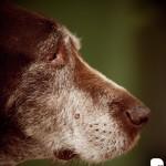 stary mądry pies